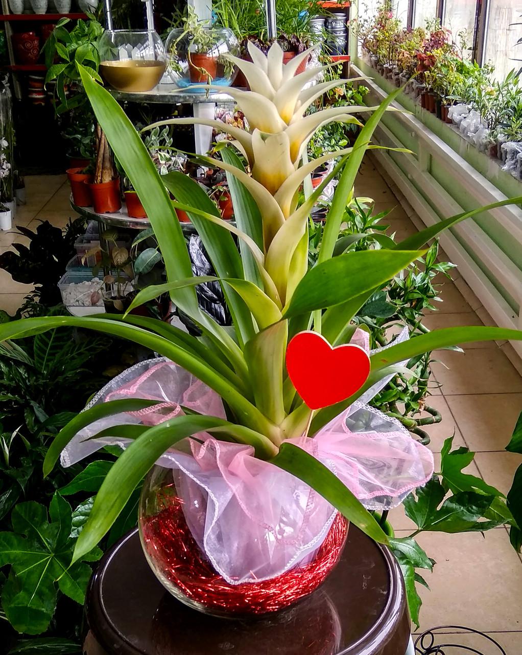 Гузмания – материнское сердце (в стеклянной вазе с декором)