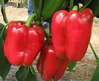 Семена сладкий перец Виктория (1уп-500гр-85000шт)
