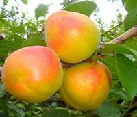 Саженец абрикоса Королевский Казахстан