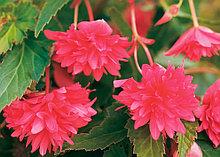 Belleconia Rose   N 345 / подрощенное растение