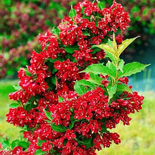 "Саженцы вейгелы цветущей ""Red Prince"". Резерв: 5шт."