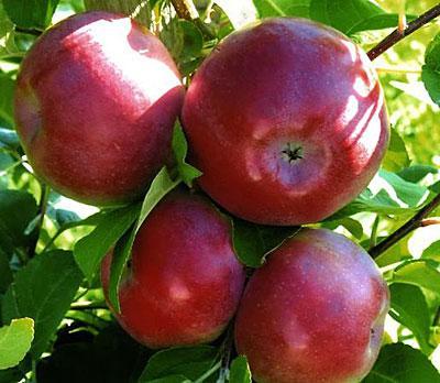 """Саженцы яблони колоновидной """"Лобо"""". Резерв: 5шт."""