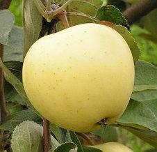 """Саженцы яблони """"Белый налив"""". Резерв: 20шт."""