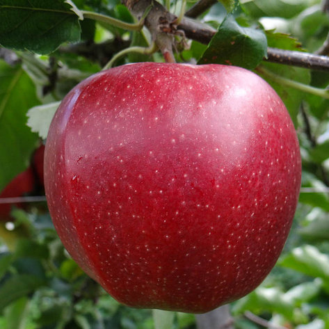 "Саженцы яблони ""Джонаголд"". Резерв: 20шт., фото 2"