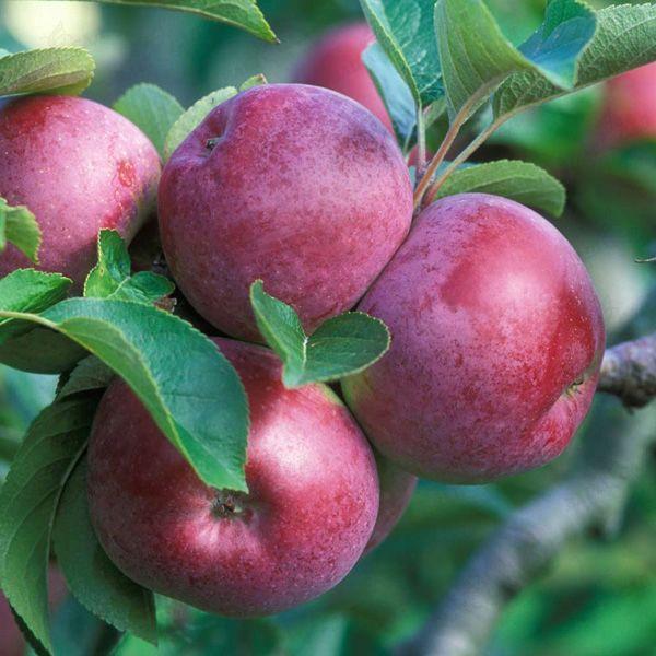 """Саженцы яблони """"Джонатан"""". Резерв: 20шт."""