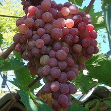 "Саженцы винограда ""Тайфи розовый"". Резерв: 10шт."