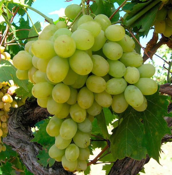 "Саженцы винограда ""Хусайне белый"". Резерв: 10шт."