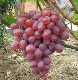 "Саженцы винограда ""Ризамат"". Резерв: 10шт., фото 2"