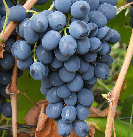"Саженцы винограда ""Молдова"". Резерв: 5шт., фото 2"