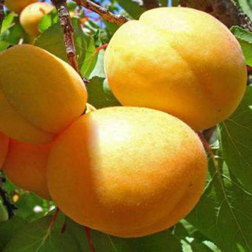 """Саженцы абрикоса """"Шалах"""". Резерв: 30шт."""