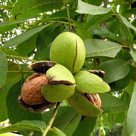 Саженцы ореха грецкого (полукарлик). Резерв: 5шт., фото 2