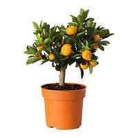 ЦИТРУС Растение в горшке, Каламондин, фото 1