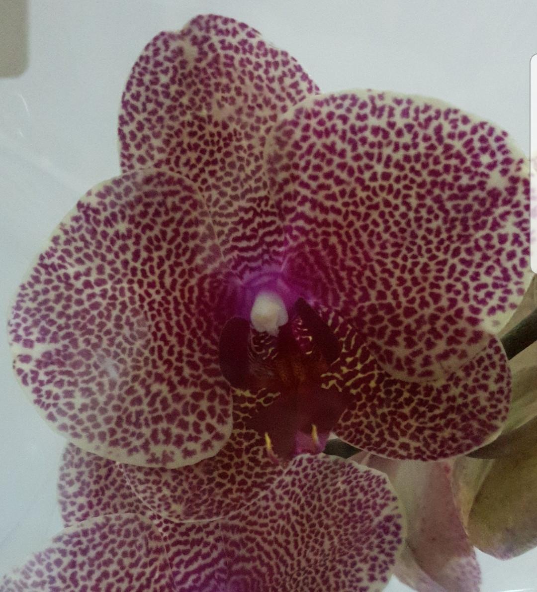 Орхидея Sezam