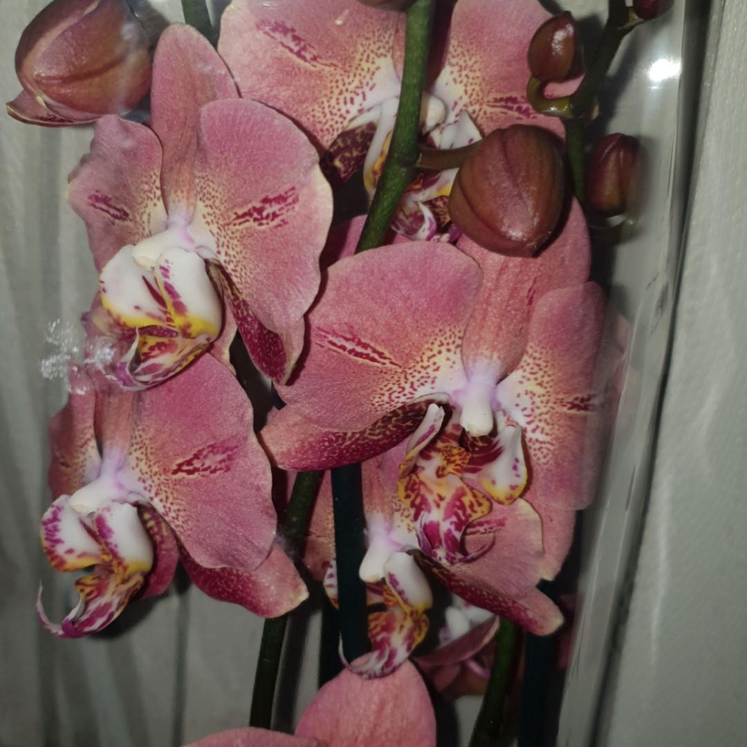 Орхидея Dragon