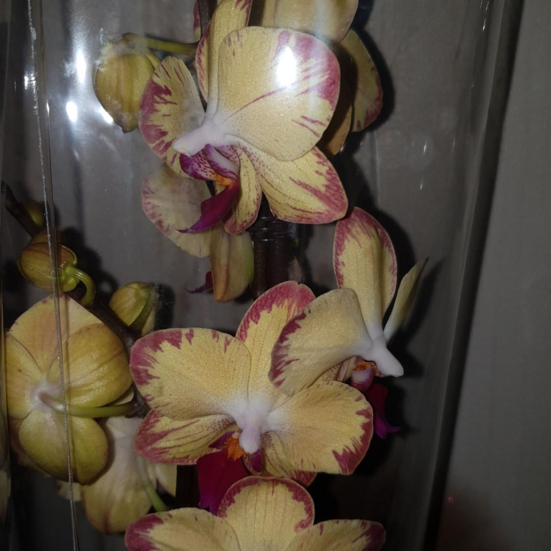 Орхидея фаленопсис Попугай