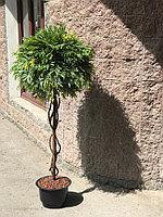 Искусственное дерево мимоза (ботаническая копия) высота 160