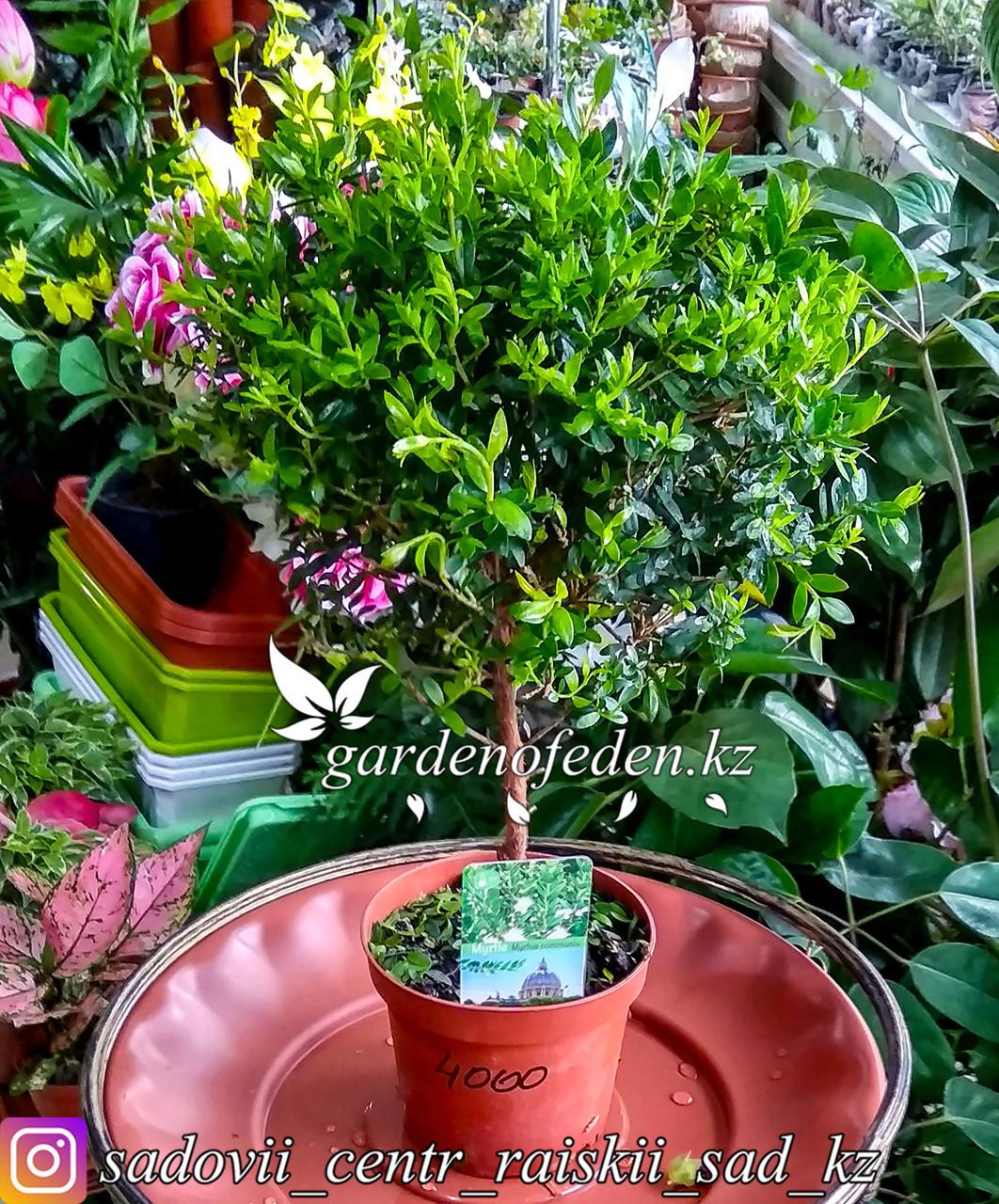 Миртовое дерево (Мирт) (в пластиковом транспортировочном горшке)