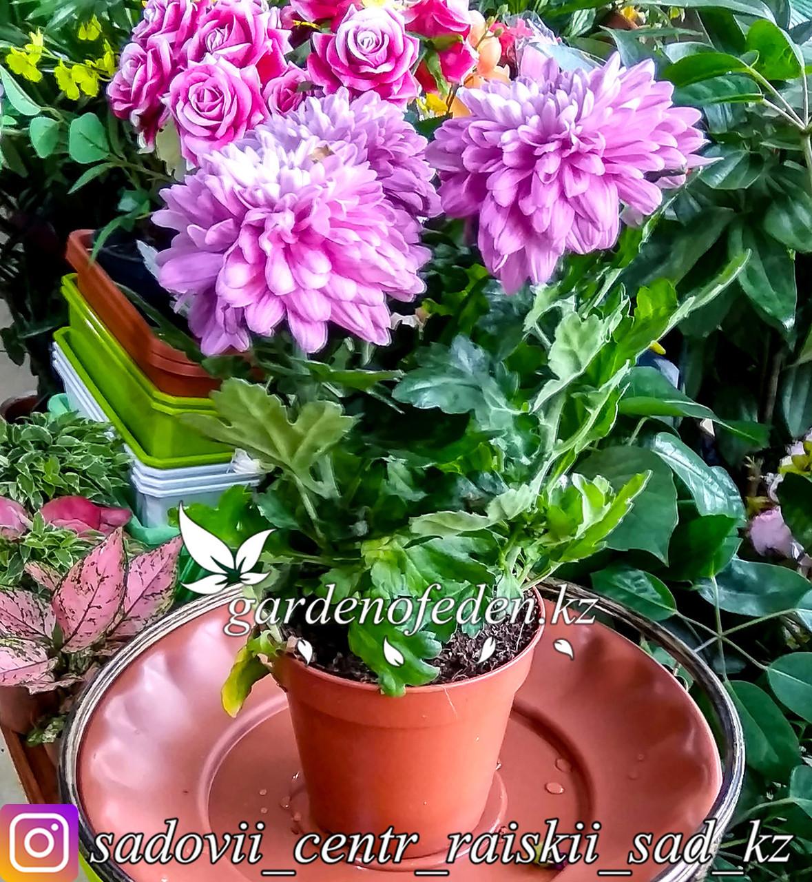Хризантема (комнатная) (в пластиковом транспортировочном горшке)