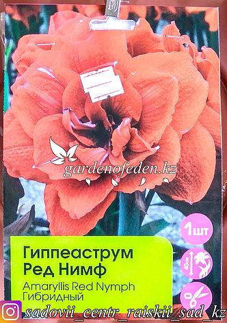 """Луковицы гиппеаструма """"Ред Нимф"""". Резерв: шт., фото 2"""