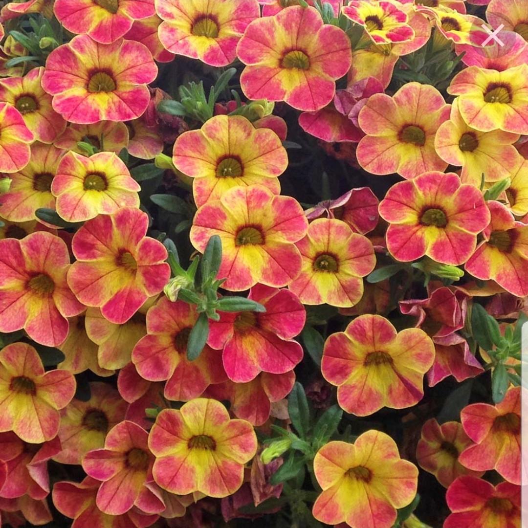 Chameleon Sunshine Berry   №450/ подрощенное растение