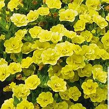 Minifamous Neo Double Yellow  №418 / подрощенное растение