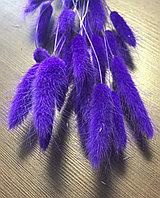 Сухоцвет заячий хвостик, Лагурус фиолетовый