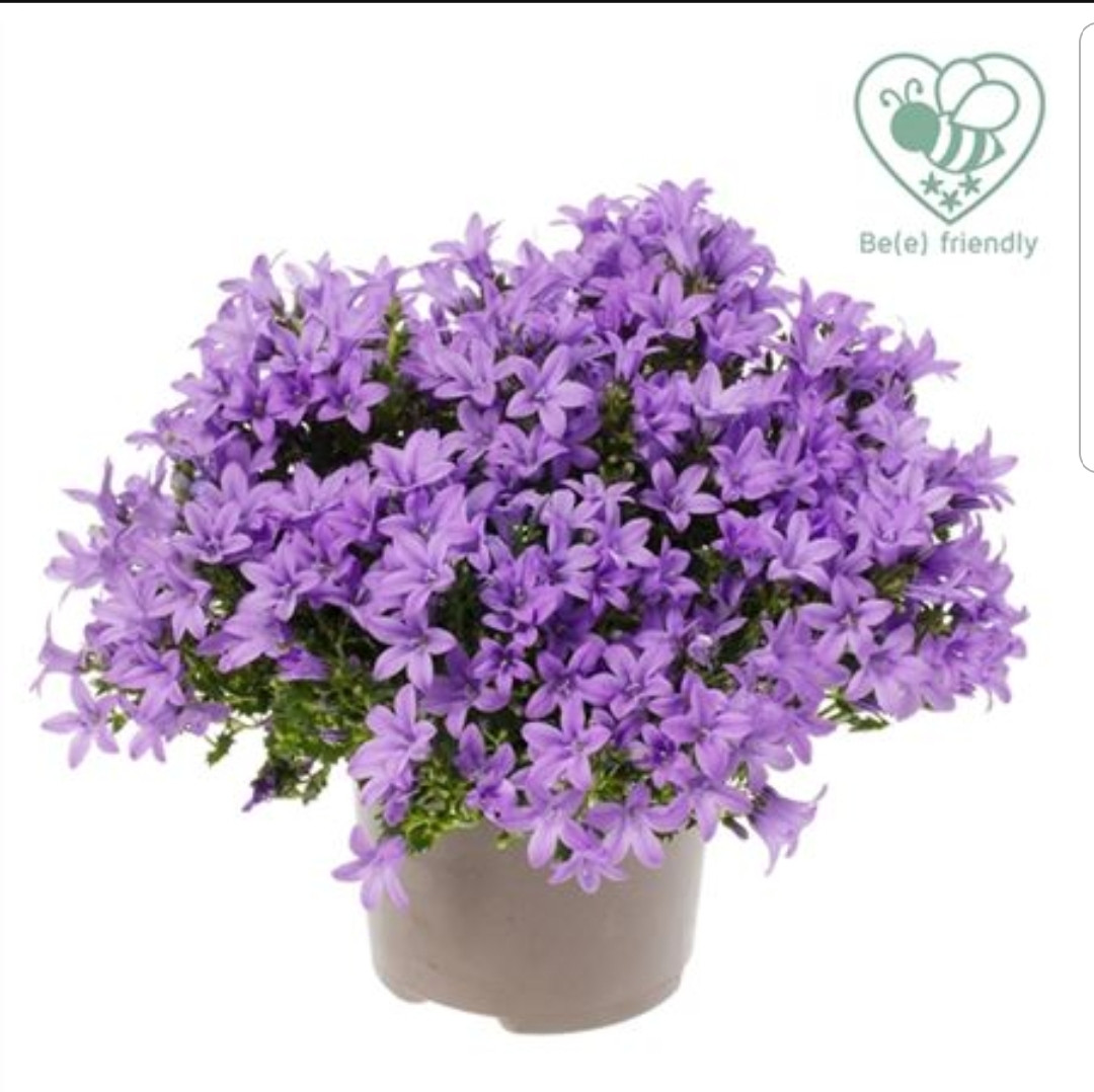 Ambella Lavender /взрослое растение
