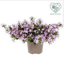 Adansa Pink / подрощенное растение